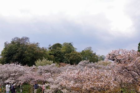 Omuro_sakura2011_05