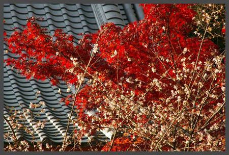 Sekizan_momiji2009_11