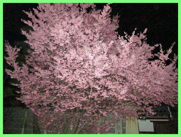 201203demachi_sakura01