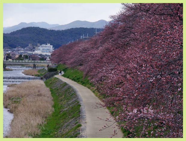 201204demachi_sakura01