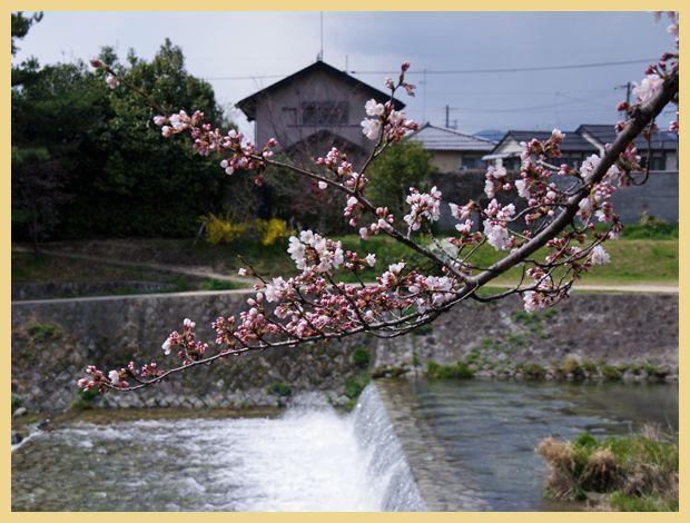 201204demachi_sakura02