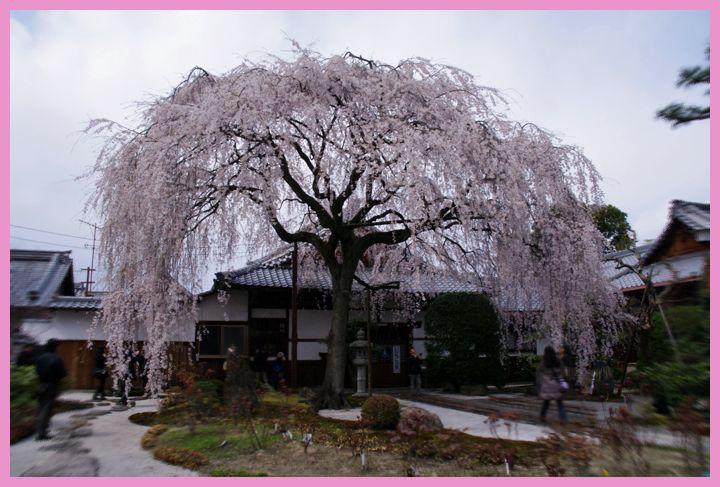 201204demachi_sakura03