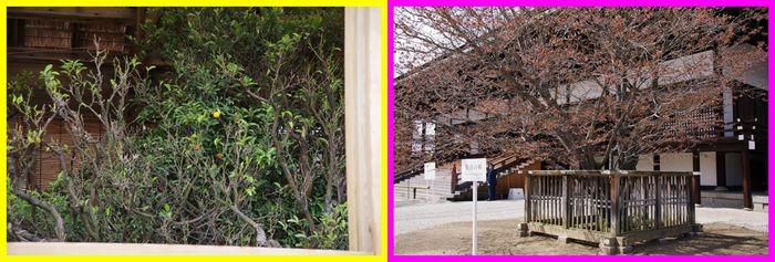 201204gosyo_sakura03_2