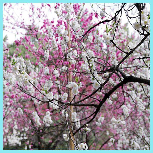 201204gosyo_sakura06