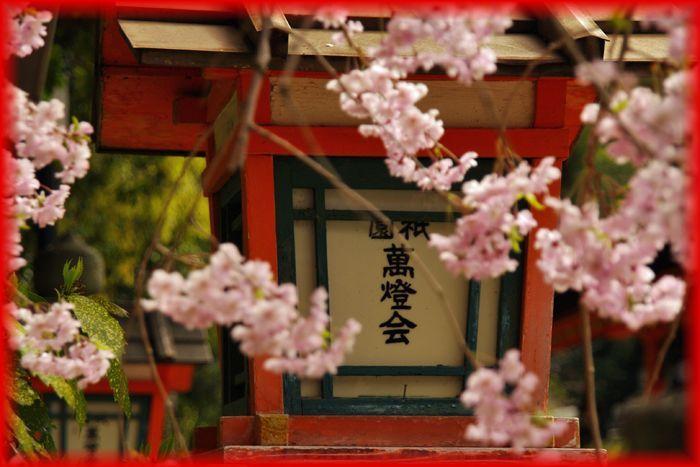 2014043maruyama_sakura10