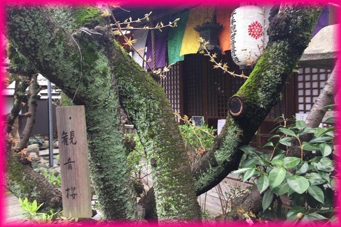 201704_2kyotosakura07